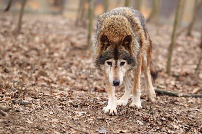 Причаливая общий волк стоковые фотографии rf