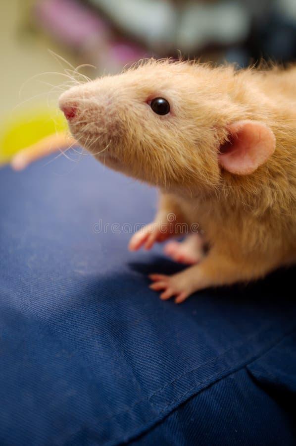 Причудливая крыса любимчика стоковые изображения rf