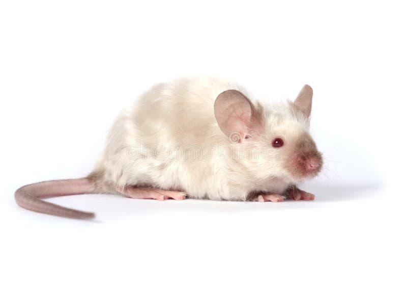 причудливая маленькая мышь стоковые фотографии rf