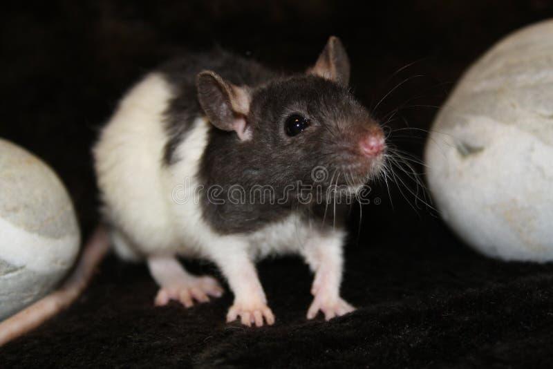 Причудливая крыса стоковые фото