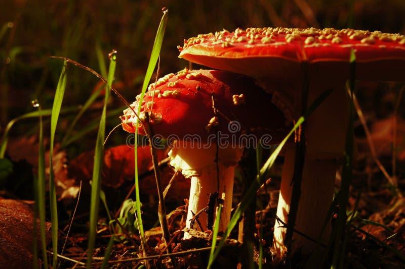 Приютить грибы и подсказки падения росы стоковые фото