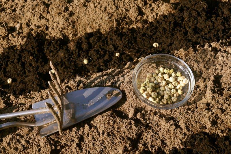 Приятное и полезное хобби: работа в саде Контейнер с семенами, подготовка кровати, засуя семена зеленых горохов стоковое изображение