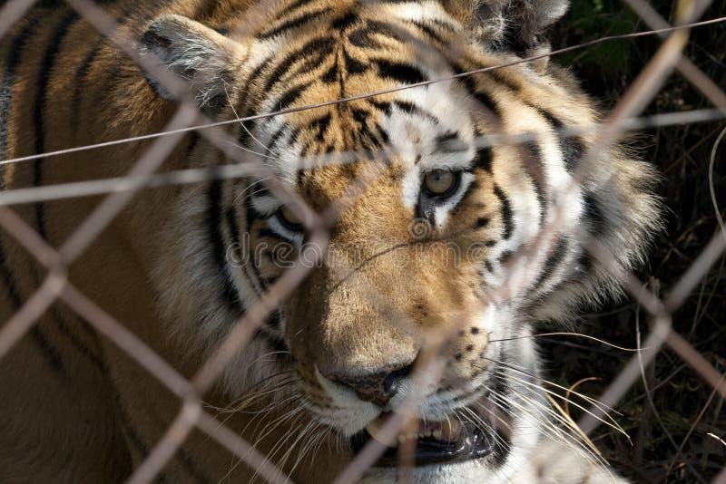 Проарретированный тигр стоковая фотография rf