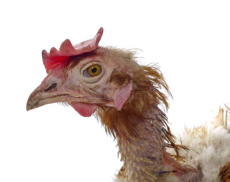 проарретировано курица стоковая фотография rf