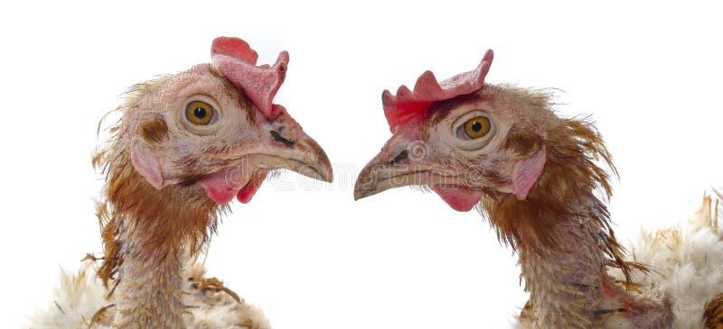 проарретировано курица стоковая фотография