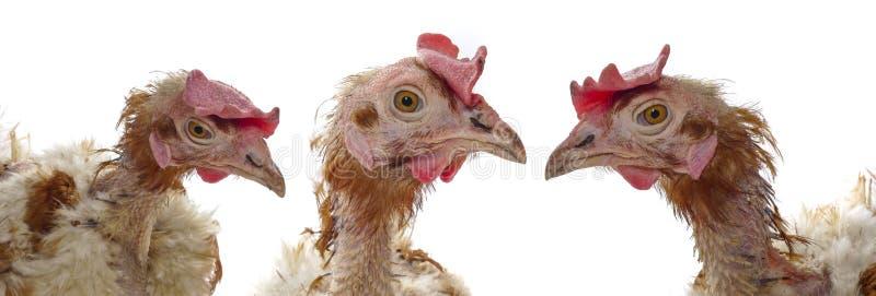 проарретировано курица стоковое изображение rf