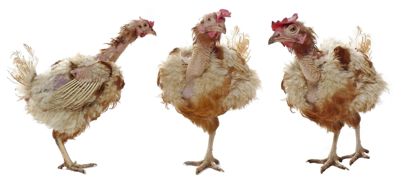 проарретировано курица стоковые изображения rf