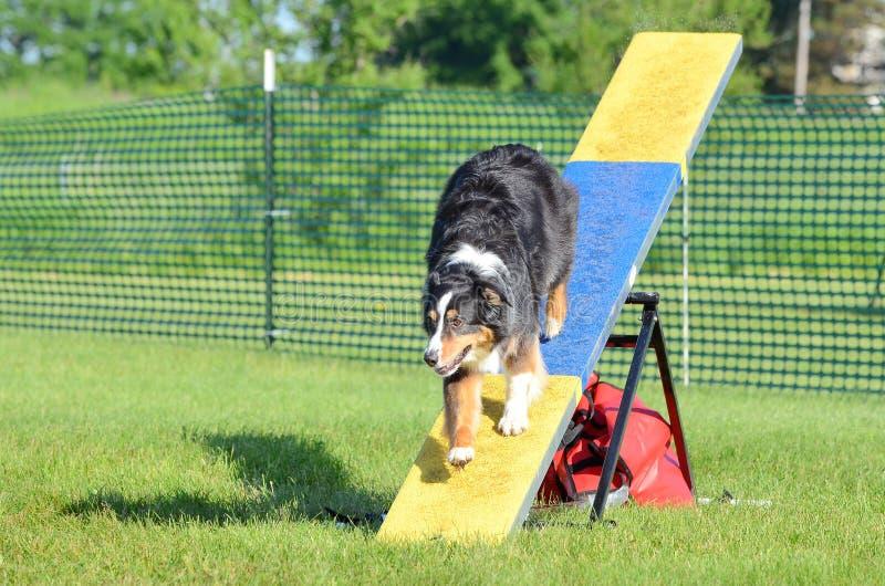 проба чабана собаки подвижности австралийская австралийская стоковое изображение
