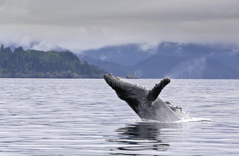 Пробивать брешь кит в аляскском море стоковые изображения rf