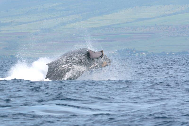 пробивать брешь humpback maui с кита стоковые изображения