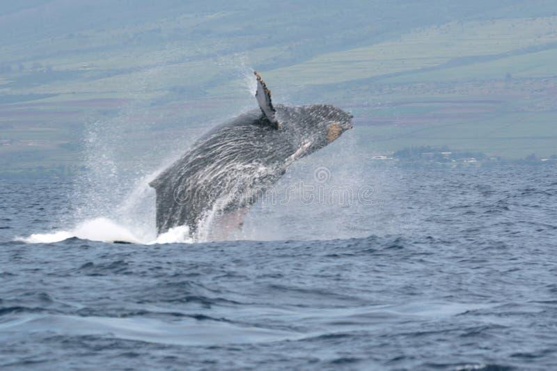 пробивающ брешь humpback maui  стоковые фотографии rf