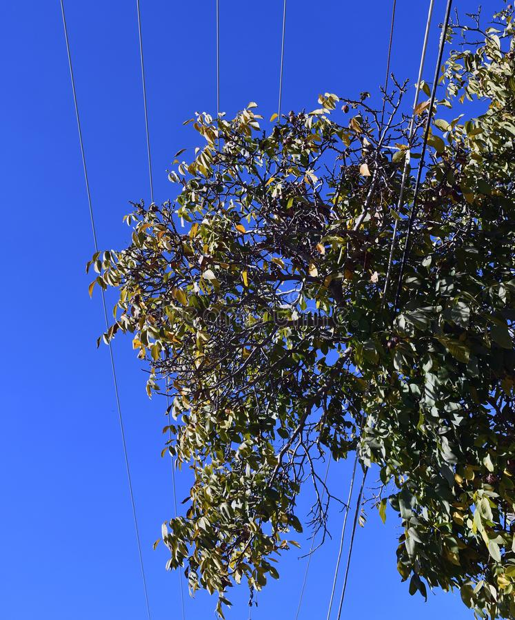 Проблемы деревьев и powerlines грецкого ореха большие стоковое изображение