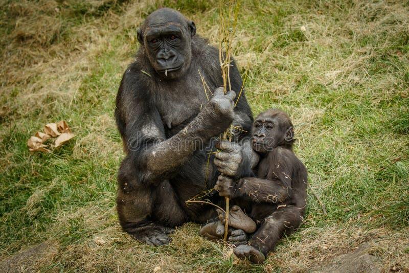 Пробуренная горилла мамы с младенцем, ЗООПАРКОМ Калгари стоковое фото rf