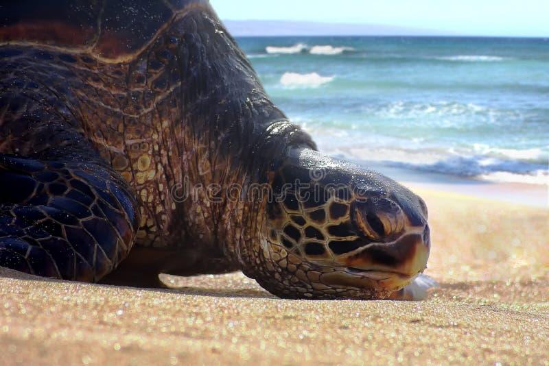 Пробуренная & ленивая морская черепаха отдыхая, lounging, загорая на пляже песка Мауи стоковые фото