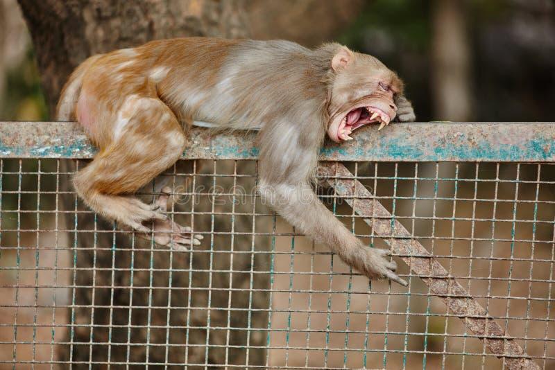 Пробуренная обезьяна на загородке стоковая фотография