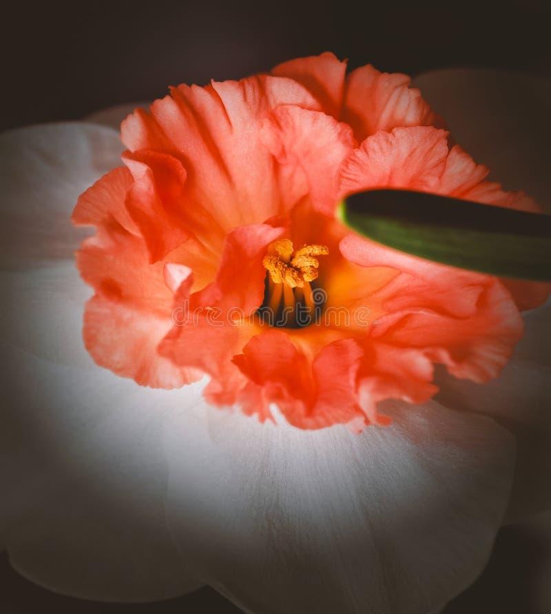 Пробуя daffodil с оранжевым концом середины стоковое изображение rf