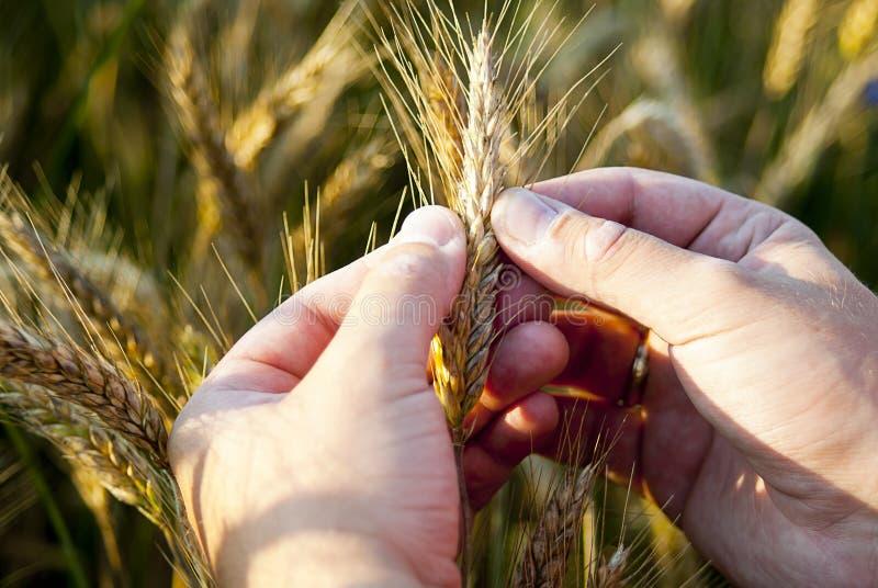 Проверите семена рожи в природе стоковая фотография