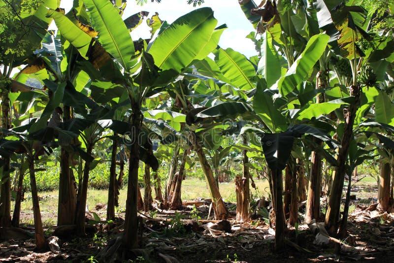 провинция Вьетнам плантации khanh hoa банана стоковые изображения rf