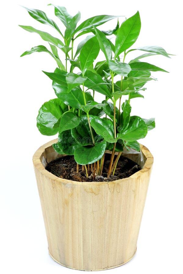 Провинция кофе Plant стоковые изображения