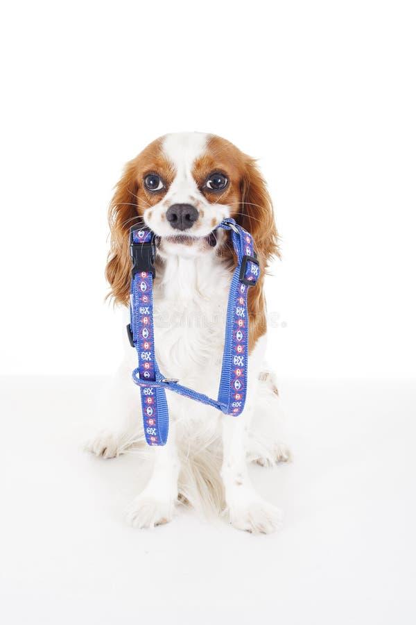 Проводка собаки с собакой Избегите аварий потерянных щенком Красивая дружелюбная кавалерийская собака spaniel короля Карла Чистоп стоковое фото