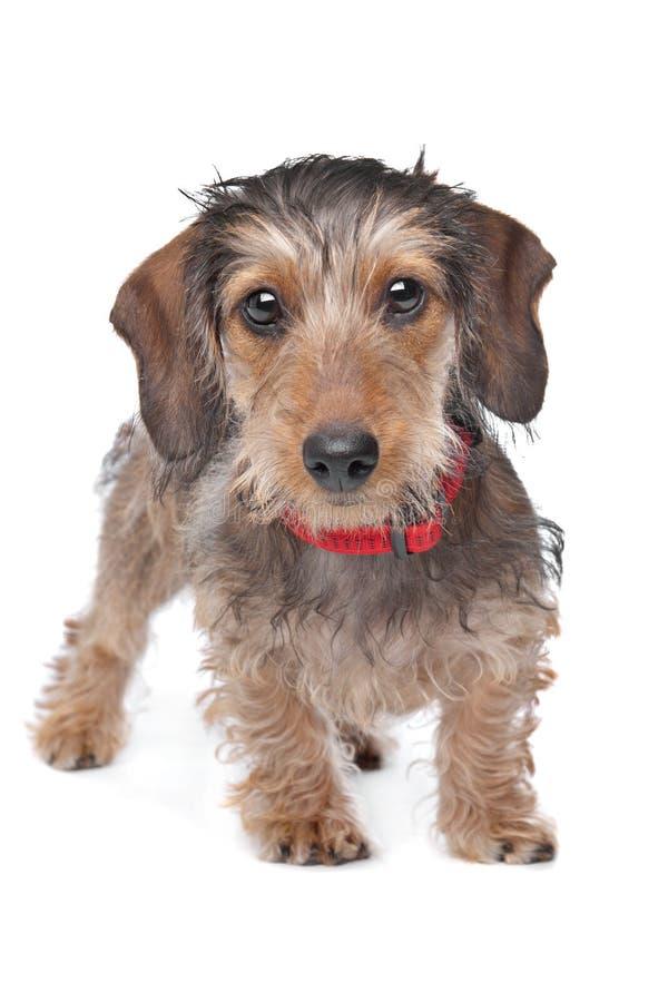 провод dachshund с волосами стоковые изображения