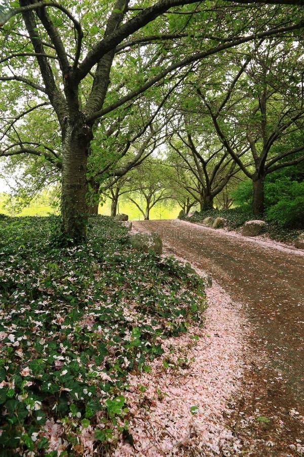 прогулка вишни цветений стоковое изображение