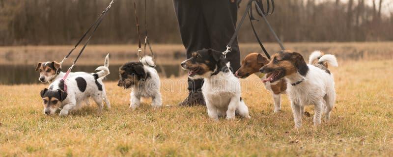 Прогулка владельца с много собак на поводке - поднимите терьера домкратом Рассела стоковая фотография