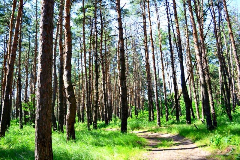 Прогулка в парке среди сосен весной стоковые фото
