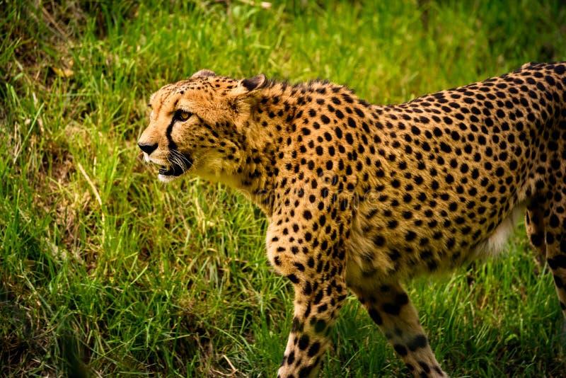 Прогулка гепарда на луге в назначении Stubenberg am Австрии Steiermark Herberstein Штирии зоопарка туристском видит стоковое фото rf