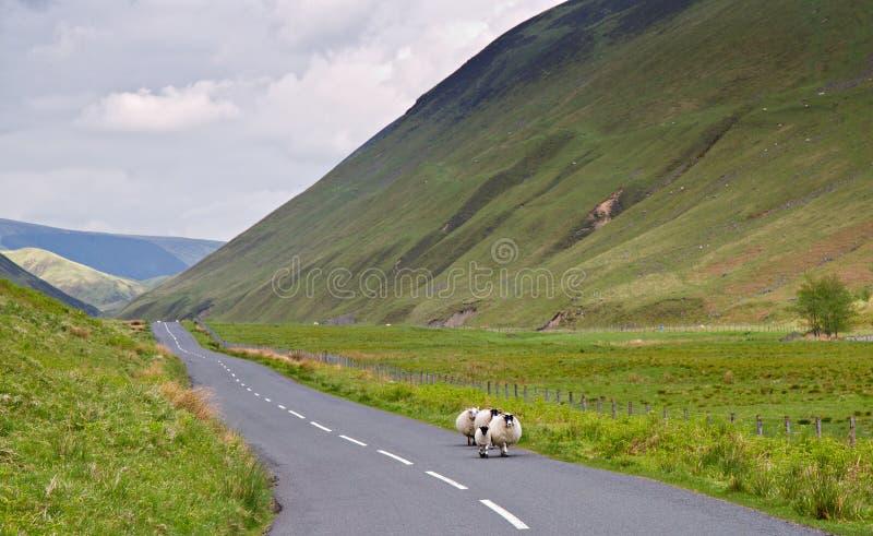 прогулка овец вечера стоковые фотографии rf