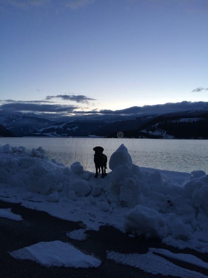 Прогулка собаки Snowy стоковые изображения rf