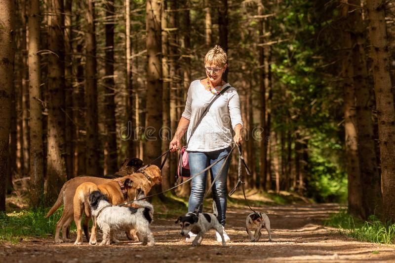 Прогулка с много собак на поводке Няня собаки с различными породами собаки в красивом лесе стоковое фото