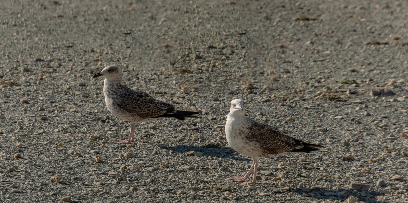 Прогулка marinus Larus 2 молодая чайок вдоль берега небольших серых камешков на заходе солнца стоковые фотографии rf