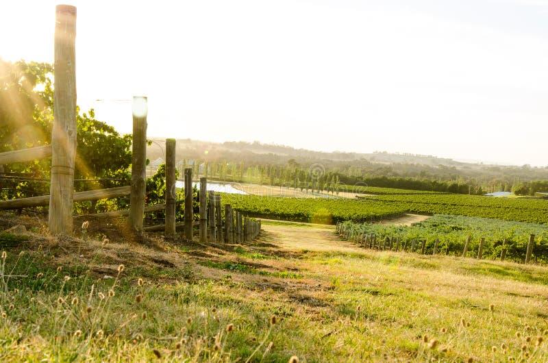 Прогулка виноградника утра стоковая фотография