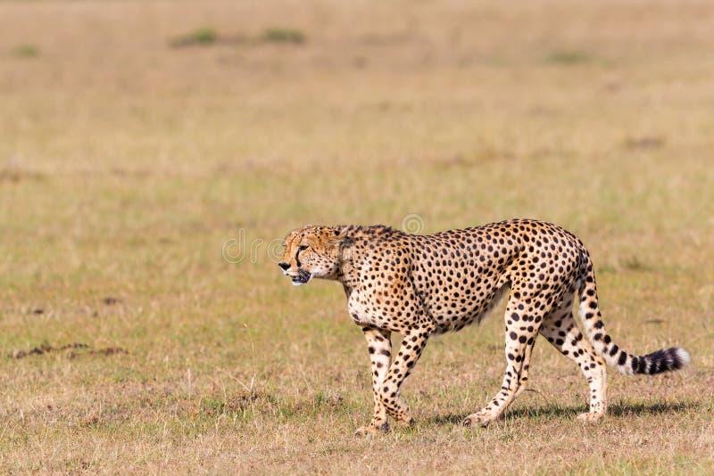Прогулка гепарда стоковые изображения rf