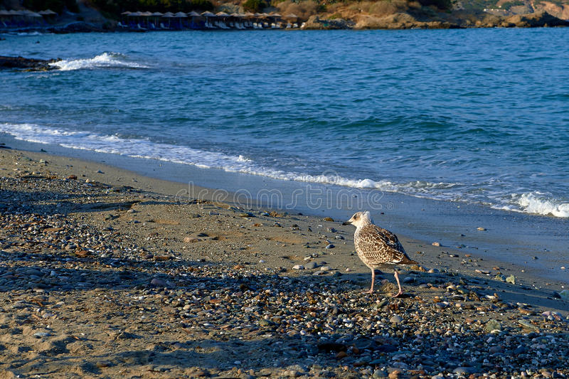 Прогулка утра вдоль чайок пляжа стоковые фотографии rf