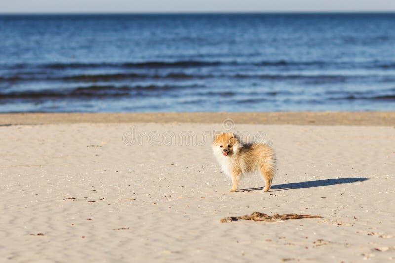 Прогулка шпица милого красного щенка немецкая на фокусе пляжа селективном стоковое фото
