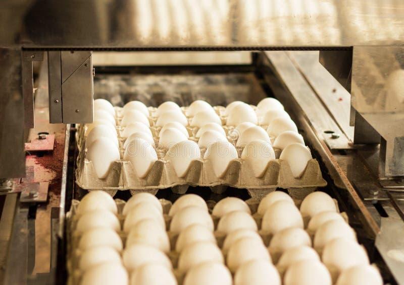 Продукция для сортировать цыпленка eggs, процесс отбора яичек цыпленка, конец-вверх, ассортимент стоковые фото