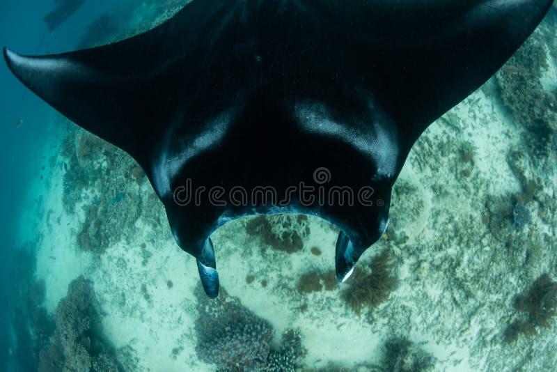 Проживающий морской дьявол в радже Ampat стоковая фотография