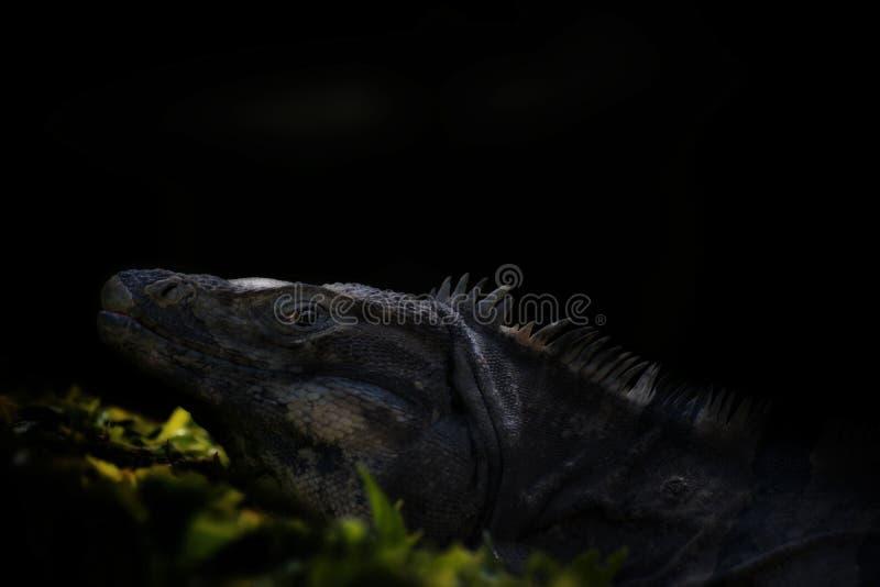 Прожитие игуаны в диких naturals в Мексике стоковые изображения