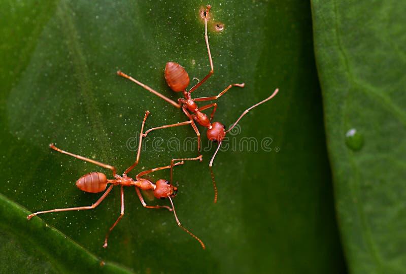 Прозрачные красные муравьи с листьями стоковое фото