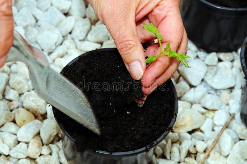 Производство керамических изделий вверх по саженцу томата стоковые фото