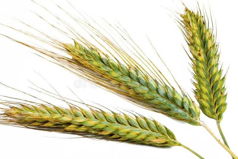 Прокисните зеленые уши пшеницы на белой предпосылке стоковые фотографии rf