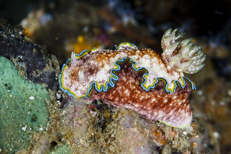 Пролив nudibranchLembeh cincta Glossodoris, Индонезия стоковое фото rf
