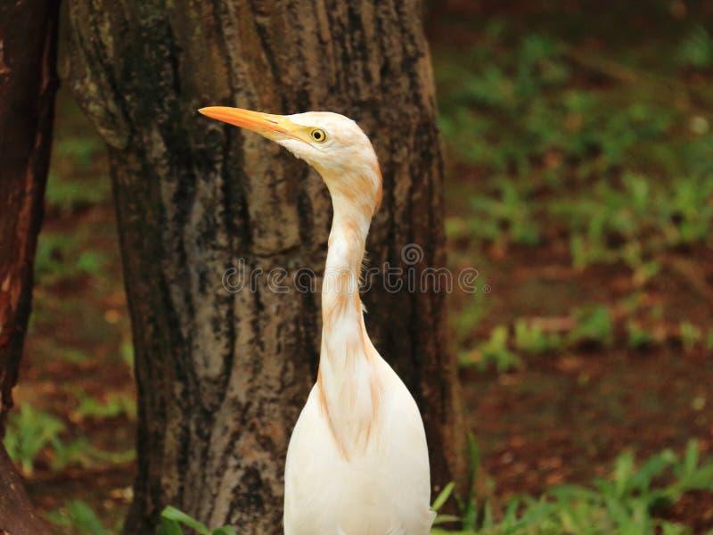 Промежуточная цапля Egret стоковые изображения