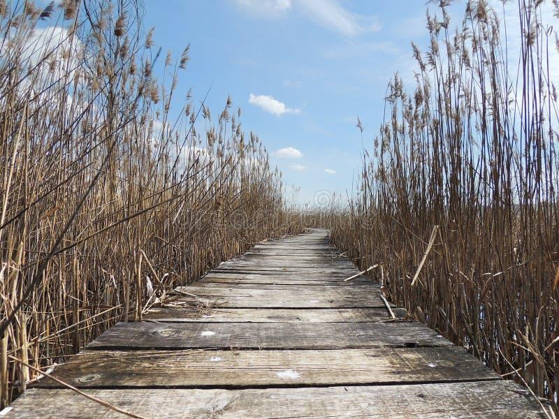 Променад в swampland с тростниками стоковые изображения