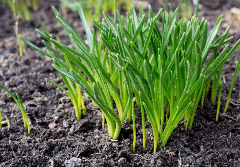 Прорастание зеленой травы стоковая фотография rf