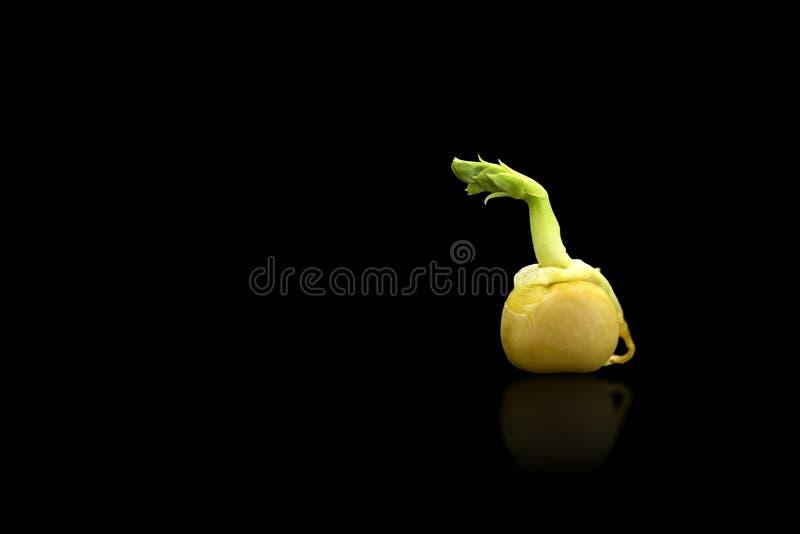 Прорастание семени гороха Росток зеленого гороха готовый для саженца желтый цвет весны лужка одуванчиков предпосылки полный Фото  стоковые фотографии rf