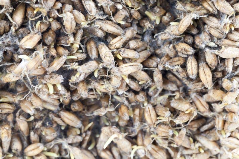 прорастанная пшеница стоковое фото