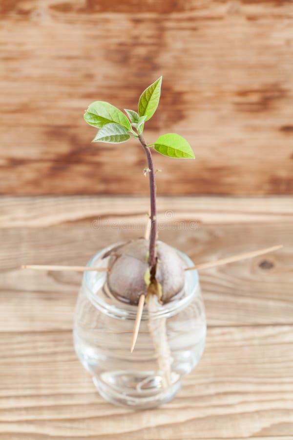 Прорастать авокадо - часть 4 стоковая фотография rf